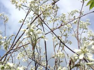 ジューンベリーの植栽は広島 造園の塩田剪庭園