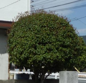 広島市西区でキンモクセイ、ヒイラギモクセイの剪定は塩田剪庭園