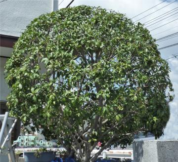 広島市西区でヒイラギモクセイの剪定は塩田剪庭園