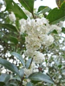 植栽を広島市西区で塩田剪庭園。ヒイラギモクセイの植栽もできます