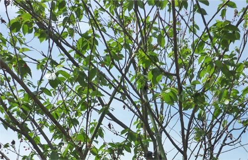 広島市でサクランボの植栽剪定は塩田剪庭園