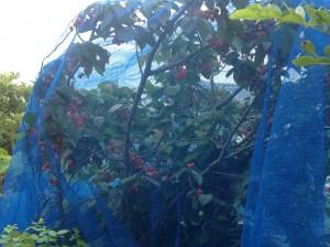 さくらんぼの剪定は塩田剪庭園