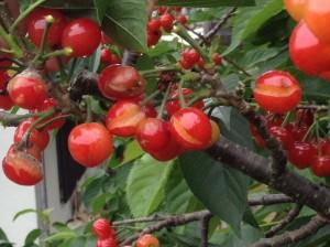 さくらんぼの剪定は広島 造園の塩田剪庭園