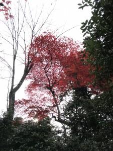 宮島モミジの監視は広島県代表の樹木の医者