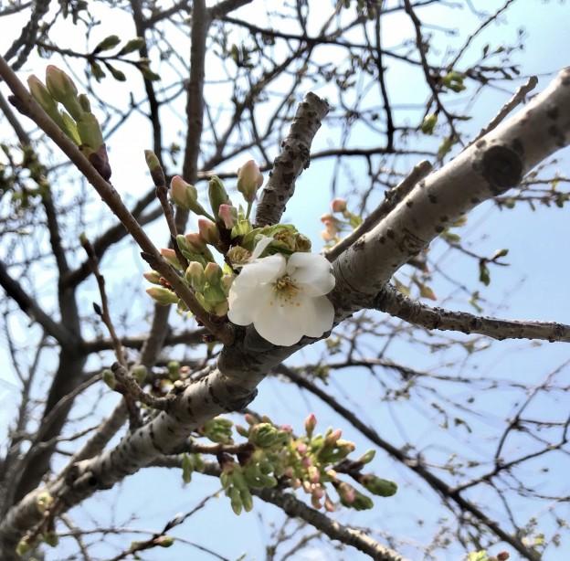 広島市西区で桜の剪定は塩田剪庭園