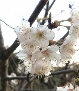 広島。山口県岩国市でさくらんぼの剪定、植え付けは塩田剪庭園