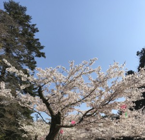 広島県で桜の管理は塩田剪庭園