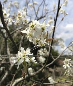 広島、山口県岩国市でジューンベリーの剪定は塩田剪庭園