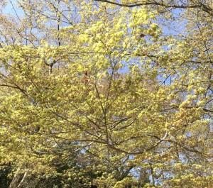 広島県、山口県岩国市、周防大島町でモミジの剪定は広島県代表の剪定士にして樹木の医者、塩田剪庭園
