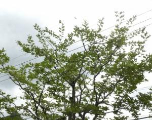 サルスベリの剪定は広島県代表の樹木の医者、塩田剪庭園