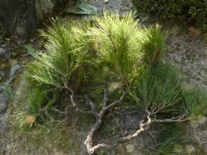 クロマツの剪定は広島県代表の剪定士、塩田剪庭園