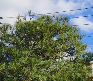 アカマツの剪定は樹木内科・外科医、剪定士の塩田剪庭園