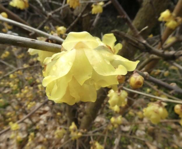 樹木内科・外科医の塩田剪庭園。広島造園剪定。ロウバイの花