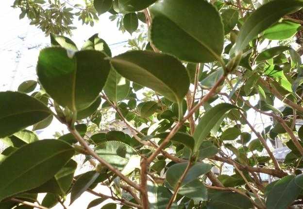 廿日市市津田で椿の剪定は塩田剪庭園