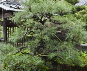 マツの剪定は樹木剪定士、樹木内科・外科医の塩田剪庭園にお任せください
