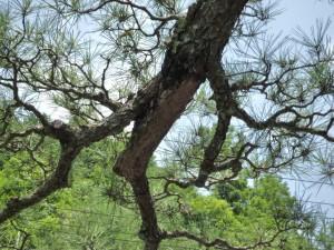 広島市で樹木治療は塩田剪庭園