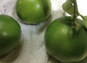 広島市佐伯区や西区、山口県岩国市などでミカンや果汁や柑橘の剪定は樹木内科・外科医の塩田剪庭園にご依頼ください