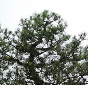 広島市西区でマツの剪定は樹木内科・外科医の塩田剪庭園