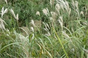 ススキや広島市で草刈り作業は塩田剪庭園