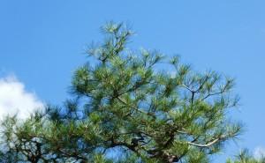 広島市でアカマツの剪定は樹木剪定士の塩田剪庭園