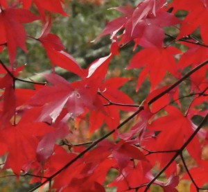 広島県キンモクセイやモミジの剪定は広島市剪定の塩田剪庭園