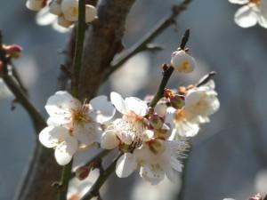 広島県で梅の木の剪定は塩田剪庭園