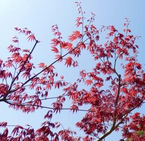 広島県広島市でノムラモミジの剪定は、樹木内科・外科医の塩田剪庭園