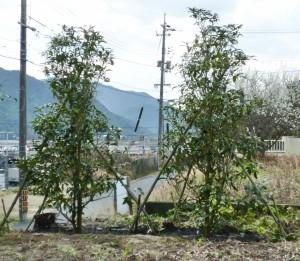 広島市で植木の植え付けは塩田剪庭園