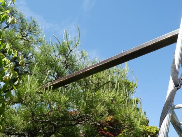 広島県広島市や廿日市市でマツの芽摘み剪定は樹木内科・外科医の塩田剪庭園にお任せください