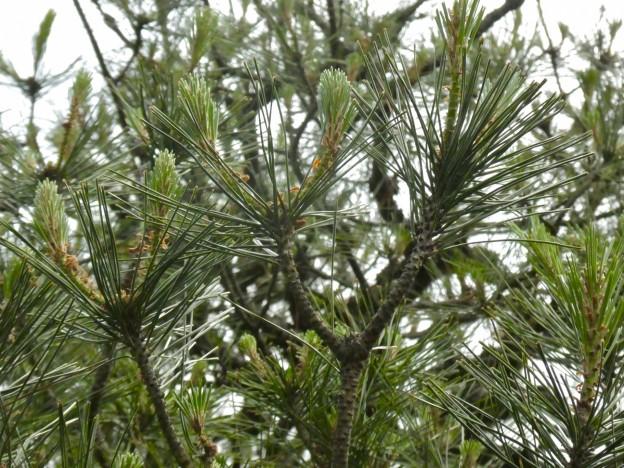 広島県広島市でアカマツの剪定は樹木内科・外科医の塩田剪庭園