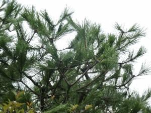 広島県広島市でマツの剪定は樹木内科・外科医の塩田剪庭園