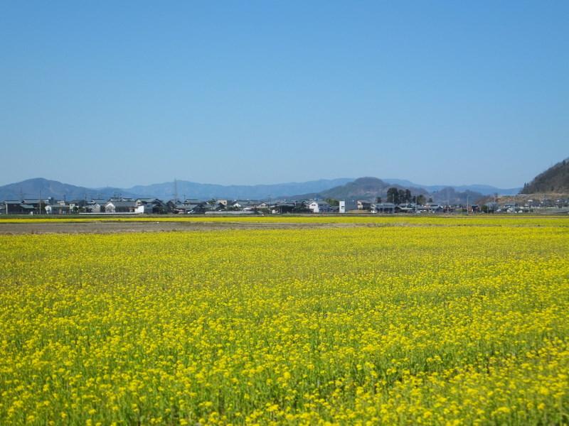 田んぼ一面菜の花畑