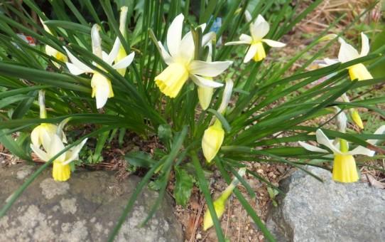 弊社花壇の水仙