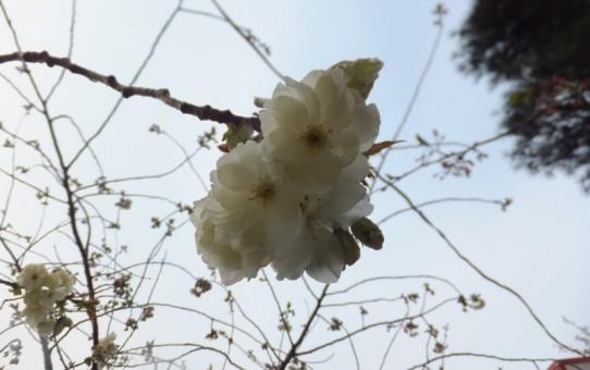 丸岡城に咲く白い桜