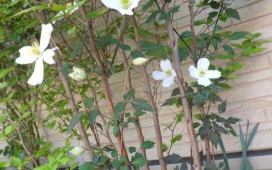 ヒメシャラの木に咲くクレマチス