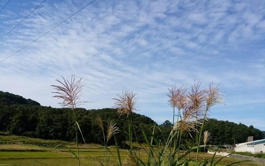 秋の風景(ススキ)