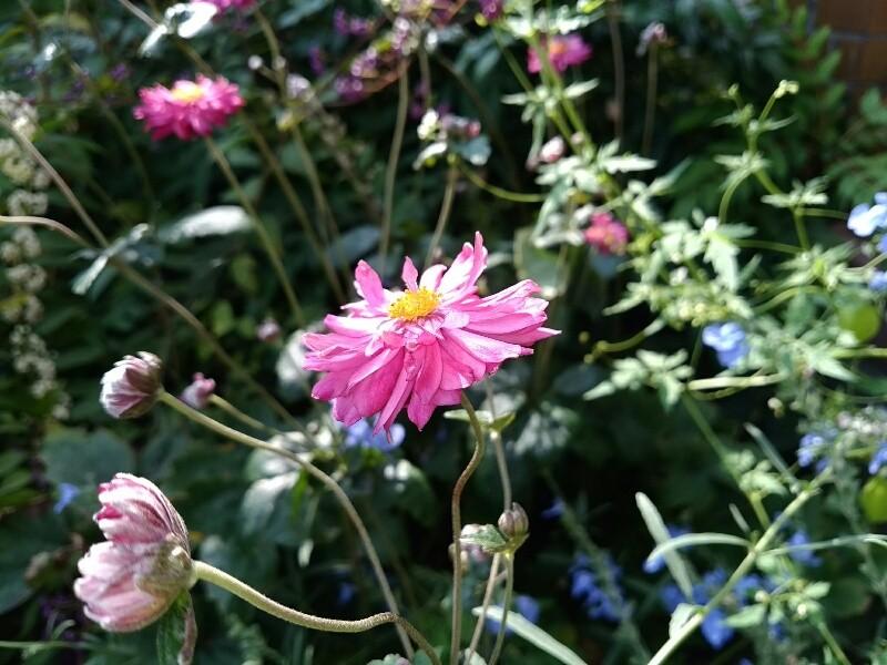 サルビア アズレア とシュウメイキクのコラボ咲き
