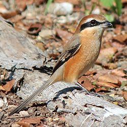 250px-Lanius_bucephalus_male
