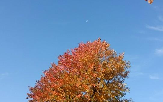 有明の月とナンキンハゼの紅葉