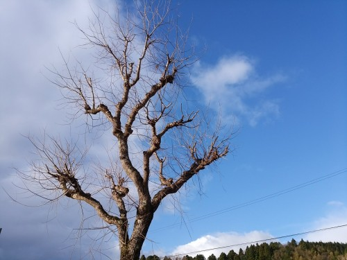 ナンキンハゼの木