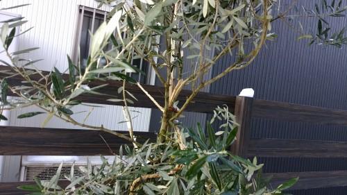 折れたオリーブの木