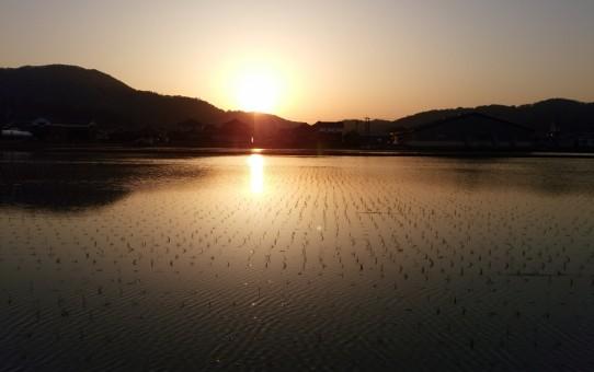 田植えの済んだ田んほに映る夕陽