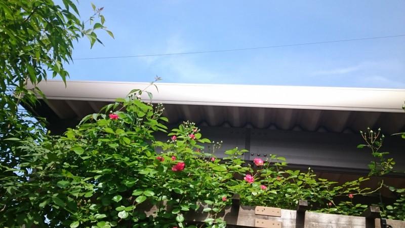 パーゴラのうえに咲くアンジェリ