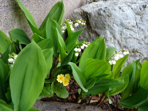 弊社の花壇に咲くすずらん