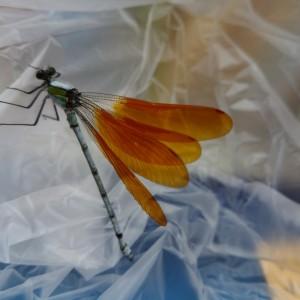 橙色翅・赤縁紋型のニホンカワトンボ♂(雄)