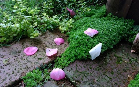 散り出した薔薇
