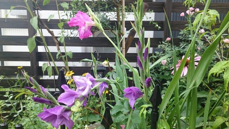 紫色のグラジオラス