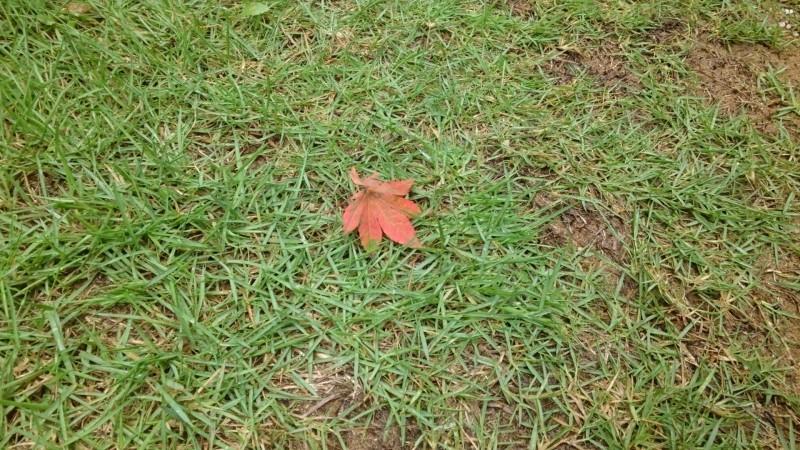 芝の上のイロハモミジ