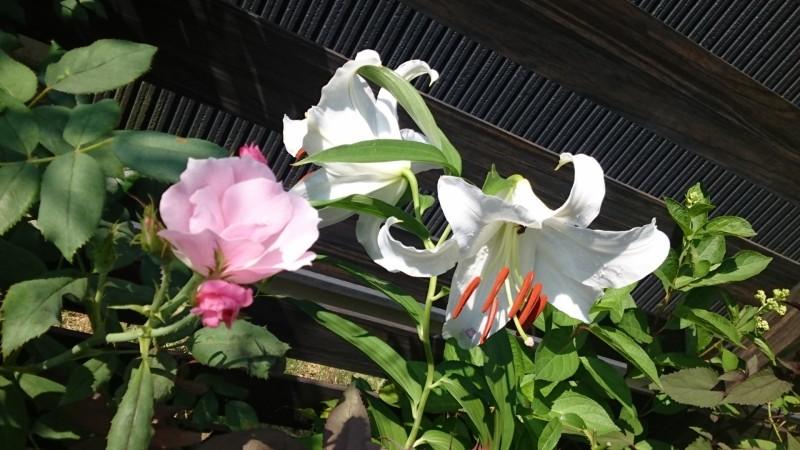 カサブランカとブラッシングノックアウトとのコラボ咲き