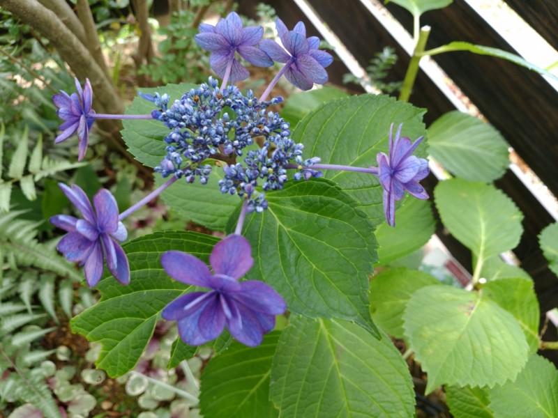 紫陽花・ハイドランジア